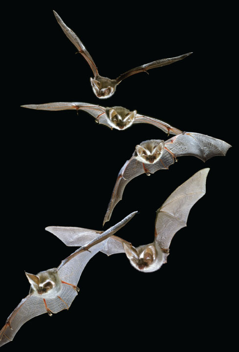蝙蝠是唯一会飞行的哺乳动物
