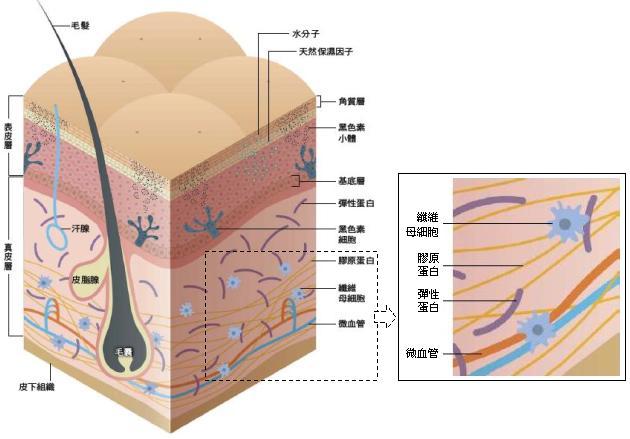 我们的皮肤由外到内分为表皮层